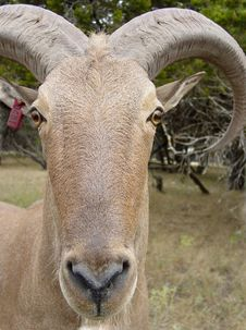 Free Aoudad Royalty Free Stock Image - 339716