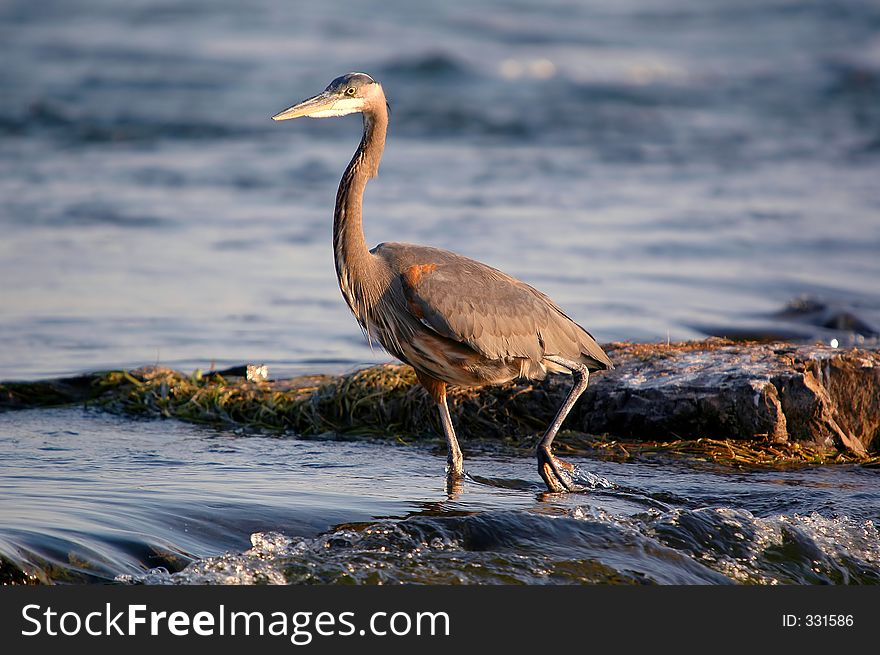 Walking great blue heron