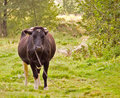 Free Cow On Pasture Royalty Free Stock Photography - 3308127