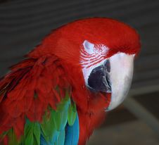Free Colorful Parrot Royalty Free Stock Photography - 3300367