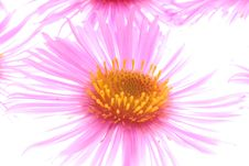 Free Pink Aster Royalty Free Stock Photography - 3300727