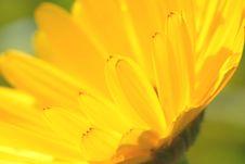 Free Yellow Daisy Royalty Free Stock Image - 3300766