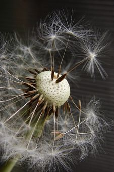 Free Dandelion Seed Stock Photography - 3301422