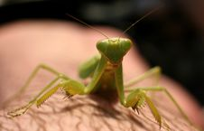 Free The Mantis Royalty Free Stock Photos - 3301688