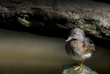 Free The Small Duck Stock Photo - 3303210