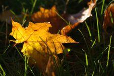 Sunny Maple Leaf Stock Photo