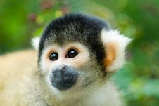 Free Cute Squirrel Monkey Stock Images - 3304064