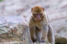 Free Barbary Ape Royalty Free Stock Photo - 3304115