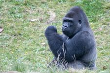 Big Male Gorilla Stock Photos