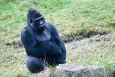 Big Male Gorilla Royalty Free Stock Image