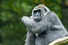 Free Big Gorilla Royalty Free Stock Photography - 3304137