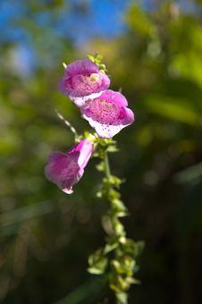 Free Purple Digitalis Stock Photography - 3305182