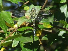 Dragonfly Settled Royalty Free Stock Image