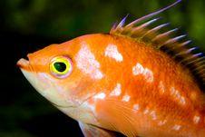 Free Bold Fish Stock Image - 3306431