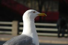Free Silver Seagull (Larus Argenta) Stock Images - 3306654