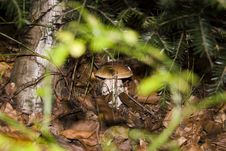 Free Mushroom In The Forest Stock Photo - 3306880