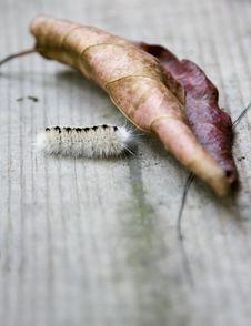 Free Crawling Caterpillar Royalty Free Stock Image - 3307296
