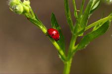 Lady-beetle Stock Image