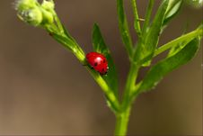 Free Lady-beetle Stock Image - 3307341
