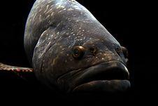 Free Big Lips Fish Royalty Free Stock Images - 3307919