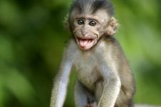 Free Monkey Sticking Out Tongue Royalty Free Stock Image - 3309166