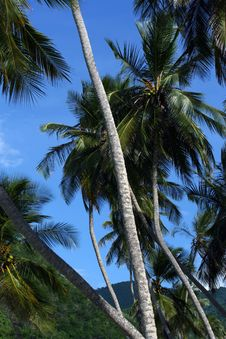 Free Tropical Palm Tree Royalty Free Stock Images - 3309229