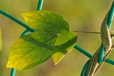 Free Green Leaf And Fence Stock Photo - 3309550