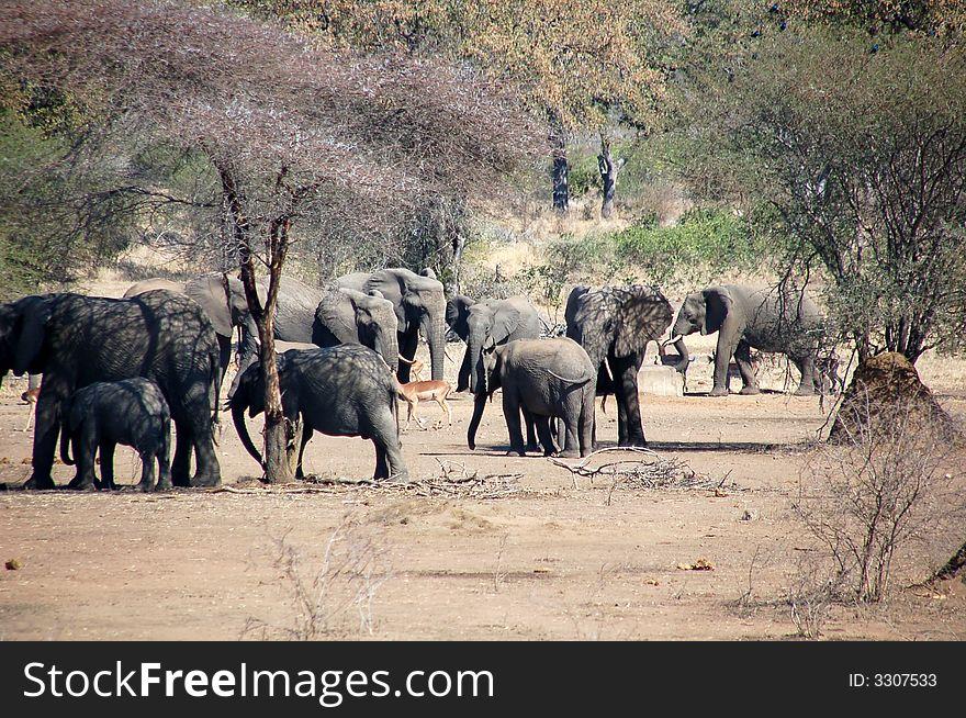 Elephants  troop with impalas
