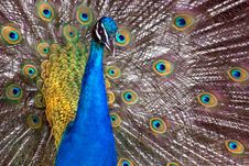 A Dancing Peacock Stock Images