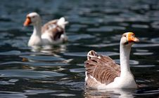Free Duck Royalty Free Stock Image - 33004796
