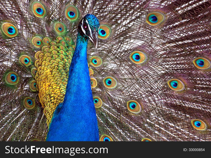 A Dancing Peacock