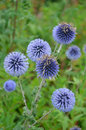 Free Purple Globe Thistle Flowers Royalty Free Stock Images - 33017239