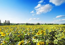 Free Field Of Sunflowers Royalty Free Stock Photography - 33014687