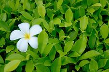 Free Plumeria Flower Royalty Free Stock Image - 33014766