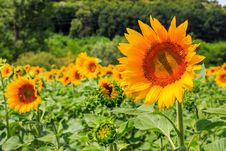 Free Young Sunflower Close-up Stock Photos - 33015813