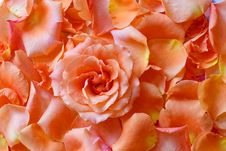 Free Rose In Petals Royalty Free Stock Image - 33016036
