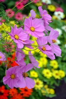 Free Beautiful Purple Cosmos Flowers Stock Photo - 33017230