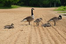 Family Of Geese At The Beach Royalty Free Stock Photos