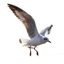 Free Flying Seagull Royalty Free Stock Image - 33018826