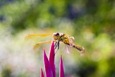 Free Dragonfly Stock Photography - 33019132
