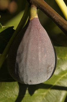 Free Fig On A Tree Stock Photography - 33020252