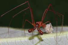 Long-jawed Spider Royalty Free Stock Image