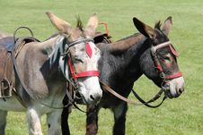 Free Two Donkeys. Stock Photo - 33025920