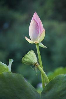 Free Pink Lotus Bud And Pod Stock Images - 33035524