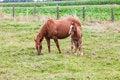 Free Horse Royalty Free Stock Photos - 33044938