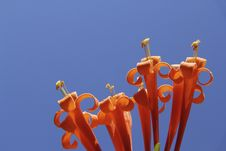 Free Orange Flowers Stock Image - 33041021