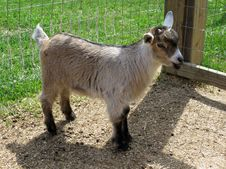 Free Nigerian Dwarf Goat Doeling Royalty Free Stock Photo - 33044415