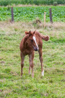 Free Young Horse Royalty Free Stock Images - 33044939