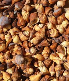 Free Brown And Spital Sea Shells Background Stock Image - 33045041