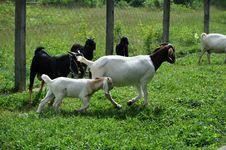 Free Goat Farm Stock Photo - 33046730